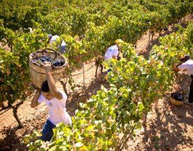 Già staccati i primi grappoli d'uva. La siccità anticipa la vendemmia