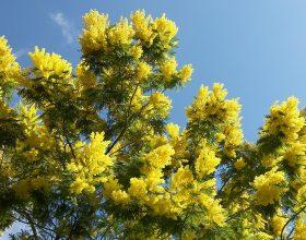 Domenica le donne valenzane saranno omaggiate con una mimosa