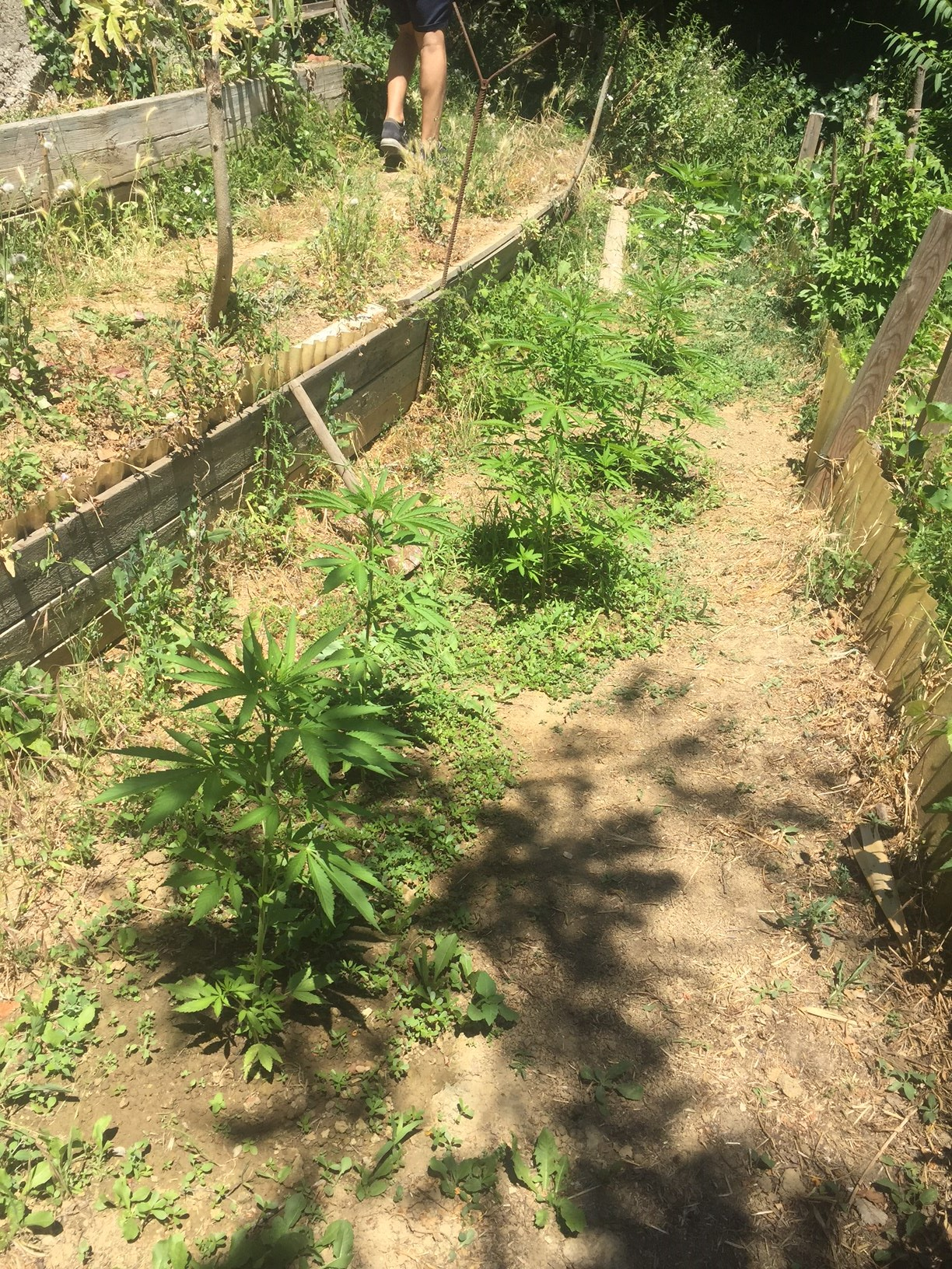 In giardino nove piante di marijuana alte mezzo metro - Piante alte da giardino ...
