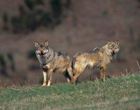 Dalla Regione Piemonte 300 mila euro per l'indennizzo danni provocati dai lupi