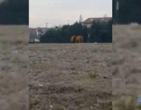 Camion perde carico: animali a spasso per la rotonda di San Michele