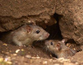 Colonia di topi in via S. Giovanni Bosco: derattizzazione immediata