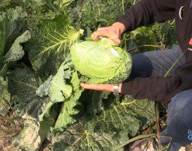 TroviamoCiATavola: come si coltiva la verza e come si cucina