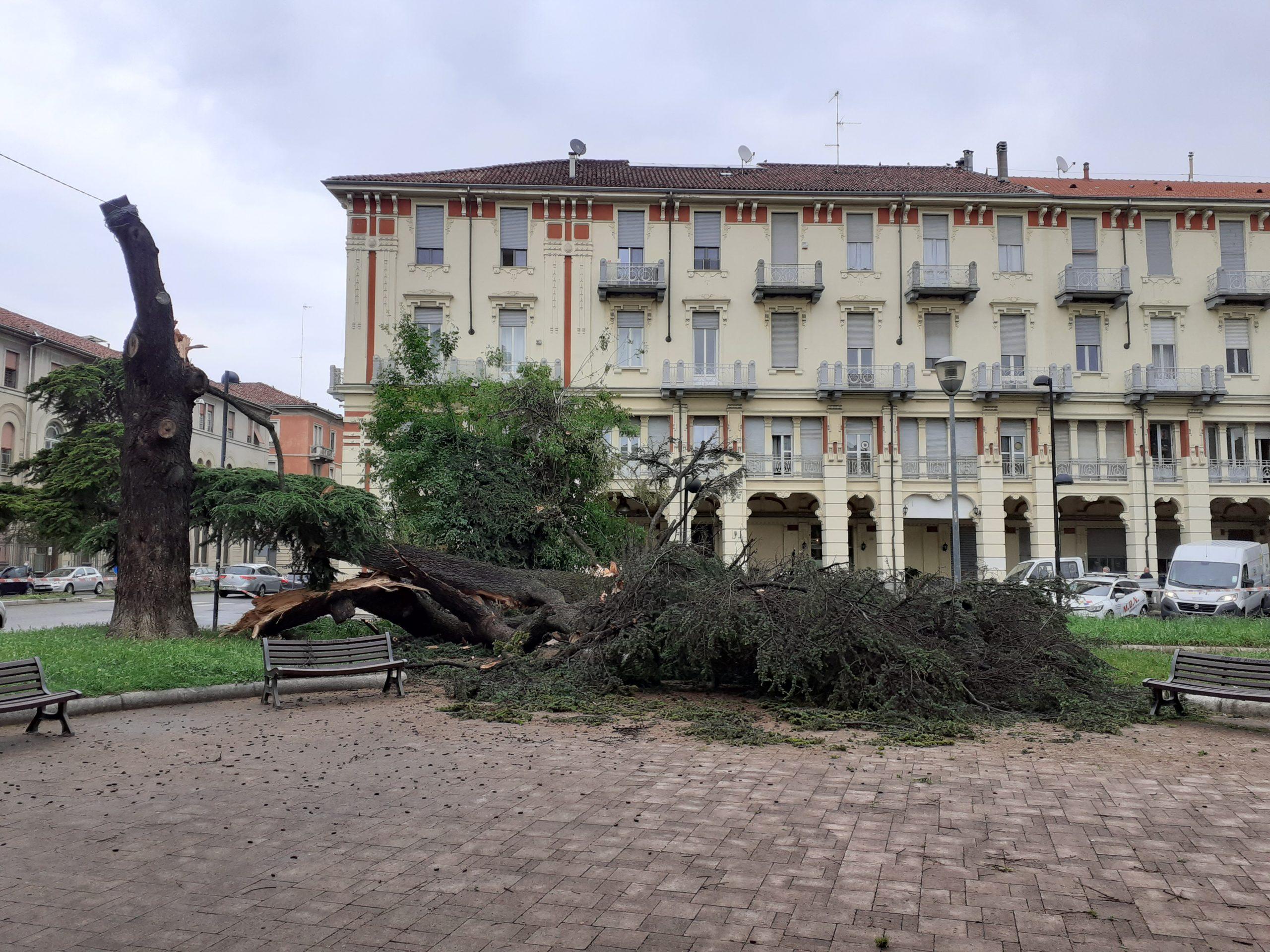 Albero Della Fortuna Pianta crollato un albero in piazza matteotti ad alessandria: due
