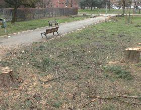 "Sette cipressi abbattuti al quartiere Galimberti. Comune: ""Motivi di sicurezza"""