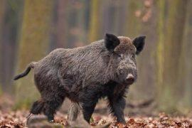 Attaccato da un cinghiale nei boschi di Castelletto d'Orba: cacciatore in codice rosso