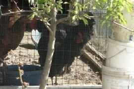 Sopralluogo di Regione, Comune e Atc al quartiere Rosa, tra giochi rotti e 'galline abusive'