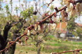 """Danni all'agricoltura dopo le gelate, Cirio: """"Stato intervenga con stanziamento straordinario"""""""