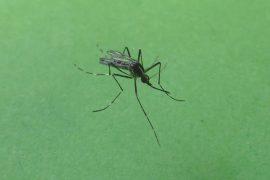 La zanzara coreana si diffonde anche in Piemonte: ecco dove e cosa provoca il morso