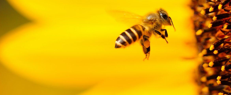 """""""Bee free"""": lo speciale di Radiogold per la giornata mondiale delle api"""