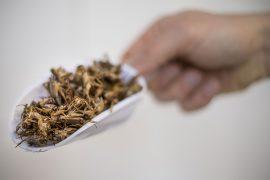 Gli alessandrini contro la Novel Food e si chiedono se gli insetti siano un alimento sicuro