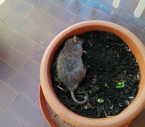 """Il disgusto di una lettrice: """"Un topo di fogna nel mio vaso al primo piano"""""""
