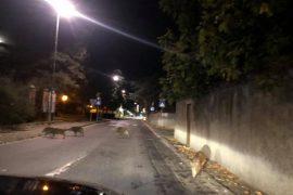 """Una ventina di cinghiali lungo le strade di Ovada: """"Evento che si ripete da tempo"""""""